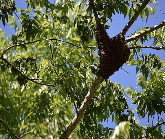 how to find the honey bee