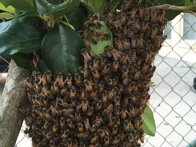 Orlando Bee Removal | Beekeeper | Dennis The Bee Guy | Orlando Bees